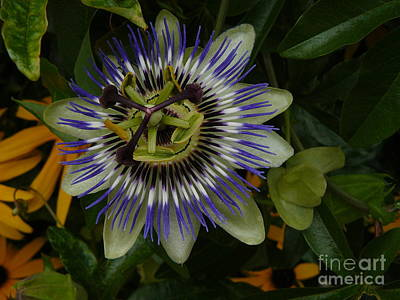 Poster featuring the photograph Passion Flower by Jane Ford