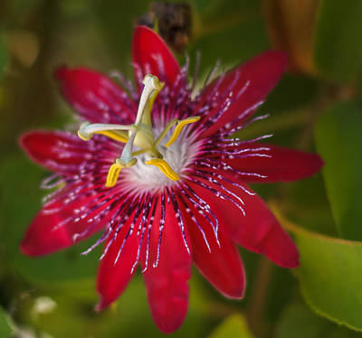 Poster featuring the photograph Passion Flower by Jane Luxton