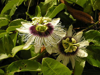 Passion Flower Poster by Karen Rowe