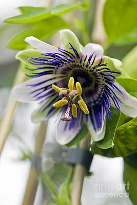 Passion Flower (passiflora Sp.) Poster by Dr Keith Wheeler