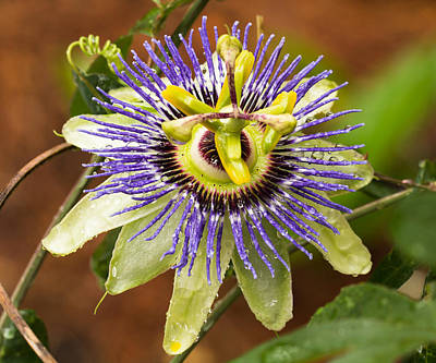 Poster featuring the photograph Passion Flower by Patricia Schaefer