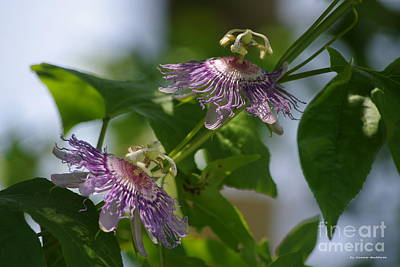 Passion Flowers Poster by Tannis  Baldwin