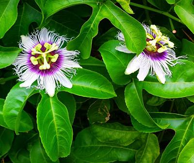 Passion Fruit Flowers Poster