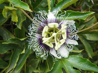 Passionflower  Poster by Noreen HaCohen