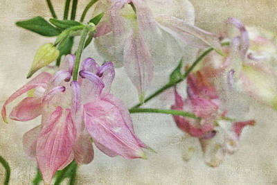 Poster featuring the photograph Pastel Columbines by Peggy Collins
