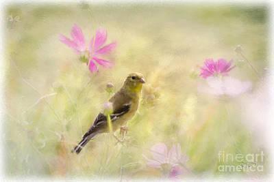 Pastel Finch In Oil Poster