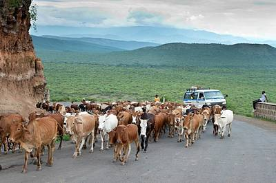 Pastoralists Moving Their Herd Poster