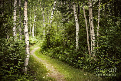 Path In Birch Forest Poster