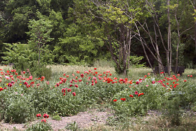 Path Through The Red Poppies Poster by Linda Phelps