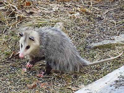 Pawing Possum Poster