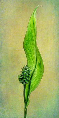 Peace Lily Poster by David and Carol Kelly