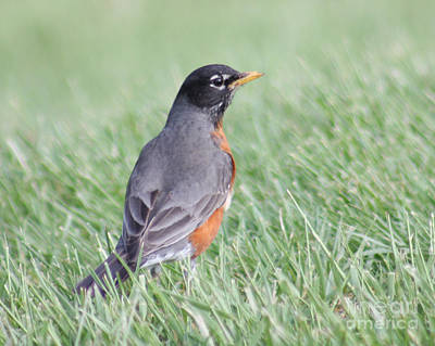 Poster featuring the photograph Peaceful Robin by Anita Oakley