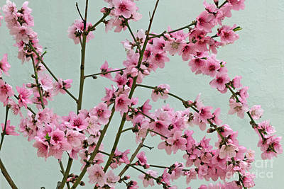 Peach Blossom 1 Poster by Rod Jones