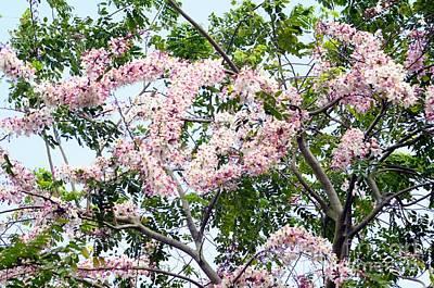 Peach Blossom Cassia Poster by Andres LaBrada