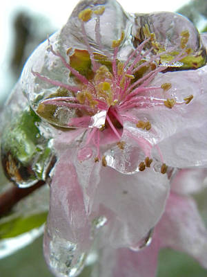 Peach Blossom In Ice Two Poster by Sheri Lauren Schmidt