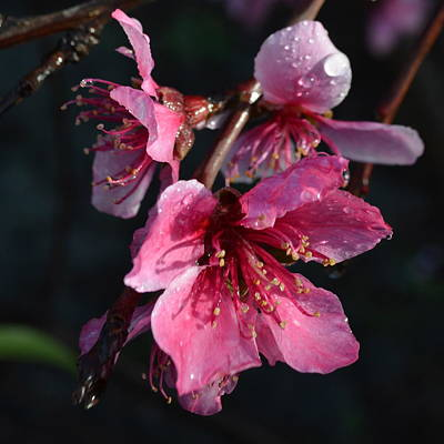 Peach Blossoms 1.1 Poster by Cheryl Miller