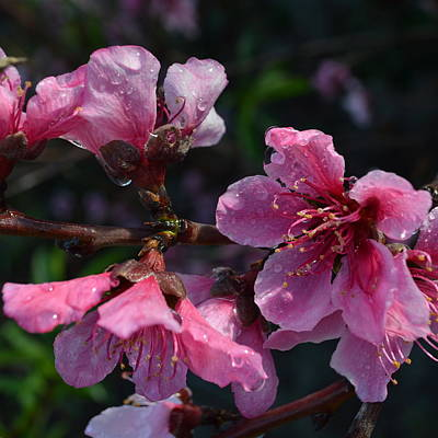 Peach Blossoms 1.3 Poster by Cheryl Miller
