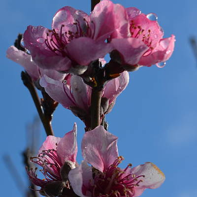 Peach Blossoms 1.6 Poster by Cheryl Miller