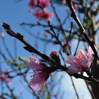 Peach Blossoms 1.7 Poster by Cheryl Miller