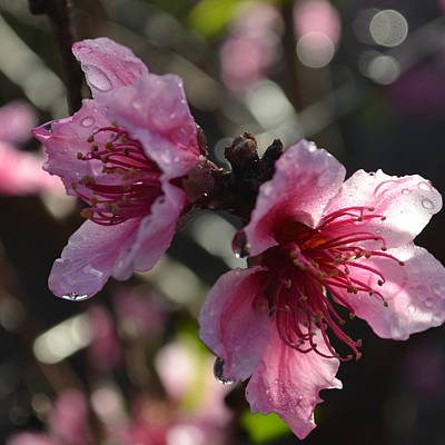 Peach Blossoms 1.2 Poster by Cheryl Miller