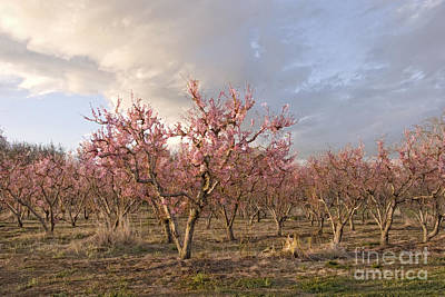 Peach Orchard Poster