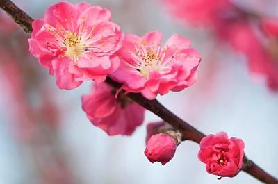 Peach (prunus Persica 'red Baron') Poster by Maria Mosolova