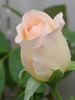 Fragile Peach Rose Bud Poster by Belinda Lee