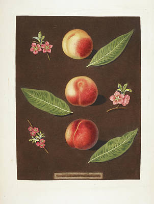 Peaches Poster by British Library