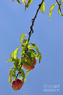 Peaches Hanging From Tree Poster by Sami Sarkis