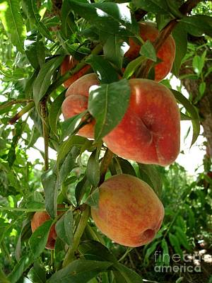 Poster featuring the photograph Peaches On The Tree by Kerri Mortenson