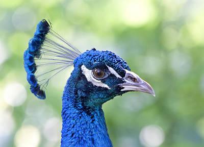 Peacock Blue Poster by Kim Hojnacki