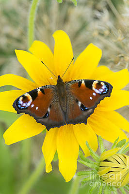 Peacock Butterfly On Rudbeckia Flower  Poster