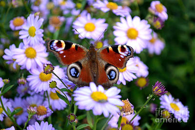 Poster featuring the photograph Peacock Butterfly Perched On The Daisies by Scott Lyons