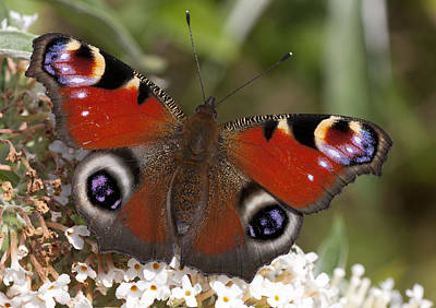 Peacock Butterfly Poster by Richard Thomas