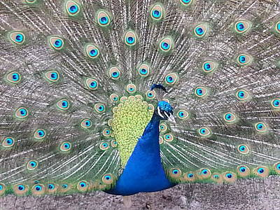 Poster featuring the photograph Peacock by Caryl J Bohn