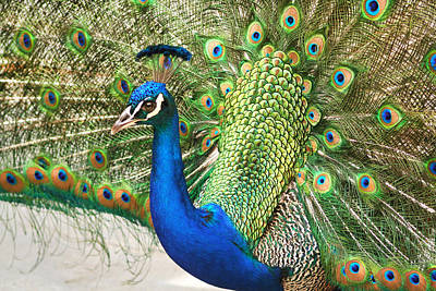 Peacock Fan Tail Poster
