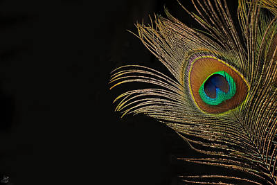 Peacock Feather Still Life Poster by Lisa Knechtel