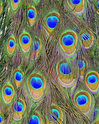 Poster featuring the photograph Peacock Feathers by Ramona Johnston