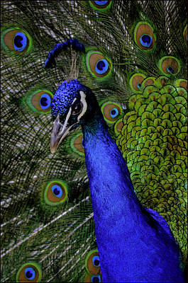 Peacock Head And Tail Poster