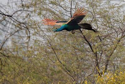 Peacock In Flight Poster by Tom Norring
