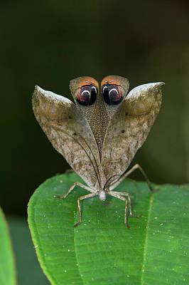 Peacock Katydid (pterochroza Poster