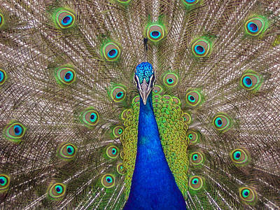 Poster featuring the photograph Peacock by Leigh Anne Meeks