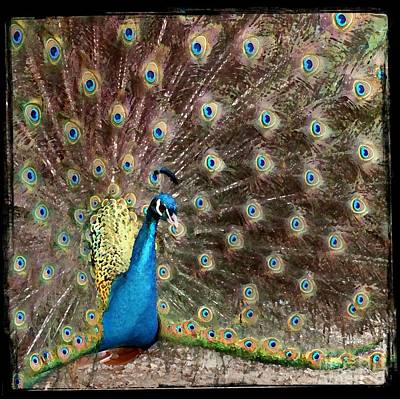 Peacock Poster by Leslie Hunziker