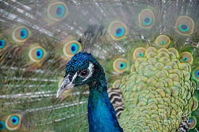 Peacock Portrait Poster