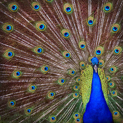 Poster featuring the photograph Peacock Squared by Jaki Miller