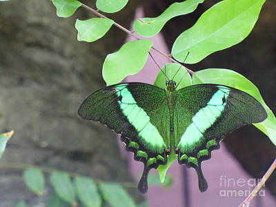 Poster featuring the photograph Peacock Swallowtail by Lingfai Leung