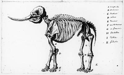 Peale: Mastodon, C1801 Poster by Granger