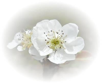Pear Blossom Poster by Judy Hall-Folde