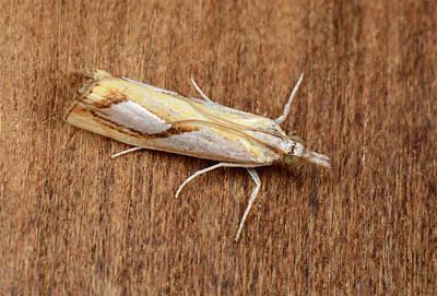 Pearl Grass-veneer Moth Poster by Nigel Downer