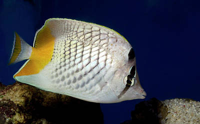 Pearlscale Or Yellow-tailed Butterflyfish Poster by Nigel Downer